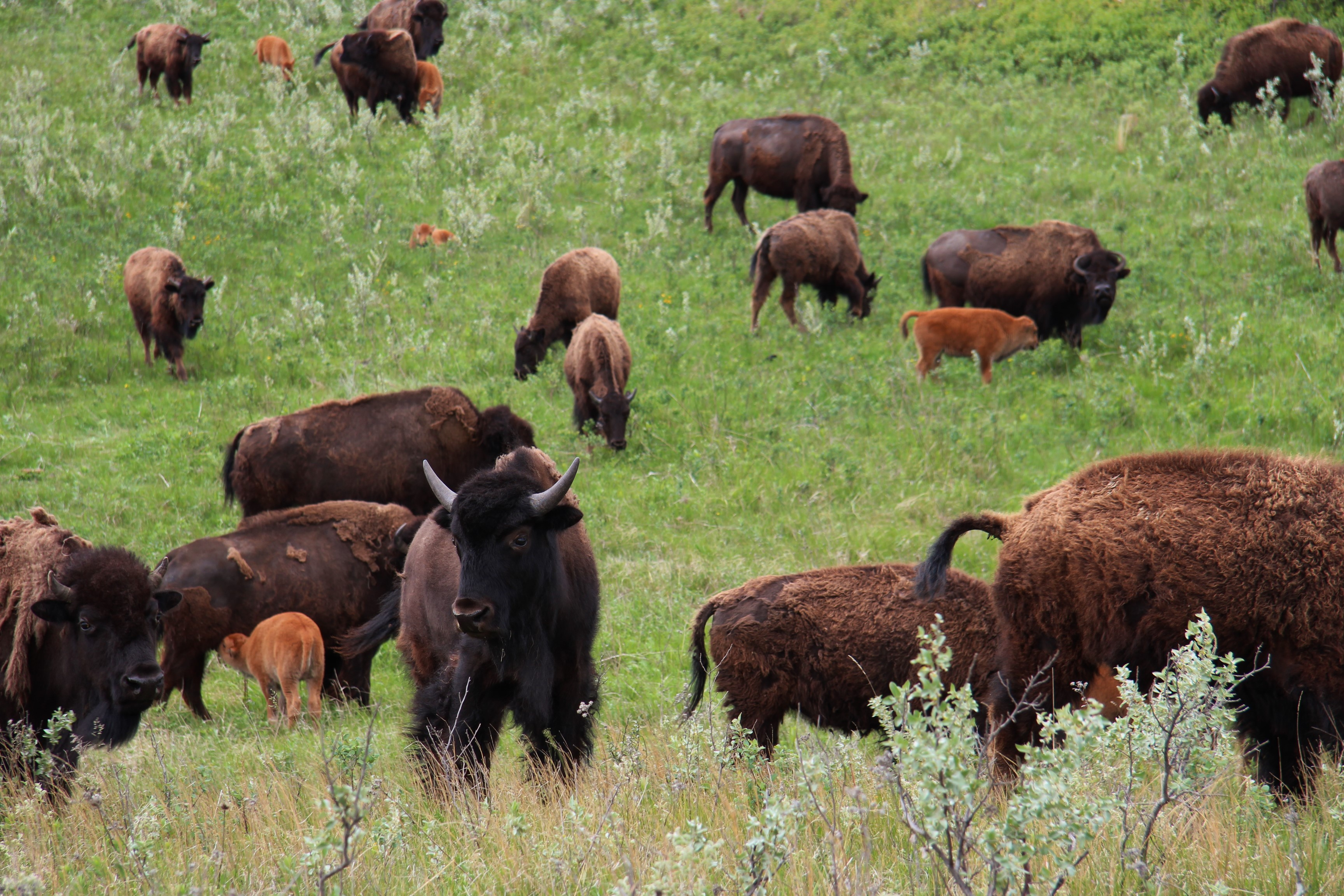 Buffalo herd in summer
