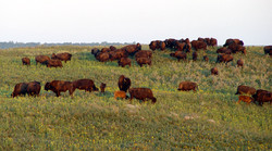 Bison herd in summer