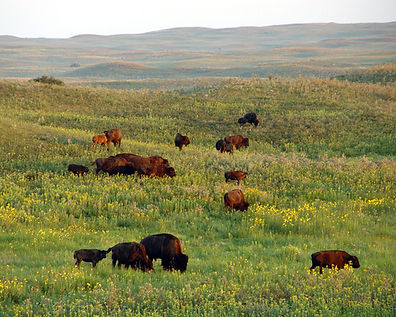 The Bison Ranch | North Dakota Buffalo Hunting Outfitters