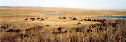 Bison Pasture