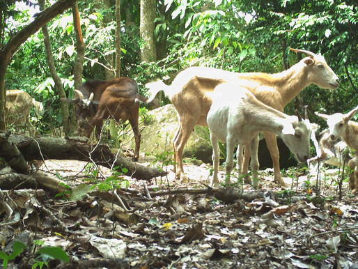 Goat control project awaits necessary equipment