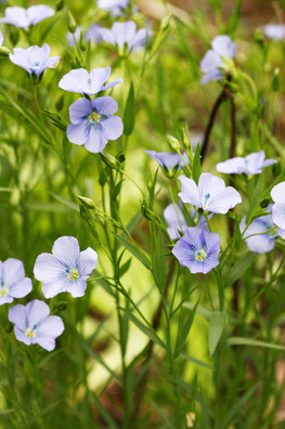 Flax, Linseed
