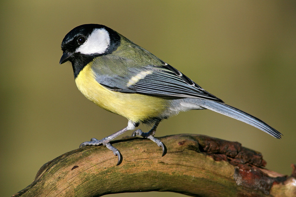 The Great Tit: Adapts very well to human mondifications of the environment!