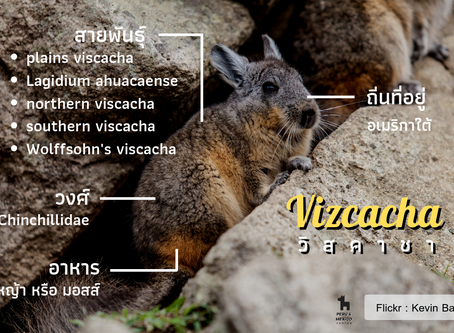 Vizcacha หนูหน้าตาน่ารักคล้ายกระต่าย