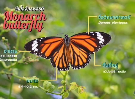 Monarch butterfly ผีเสื้อจักรพรรดิ