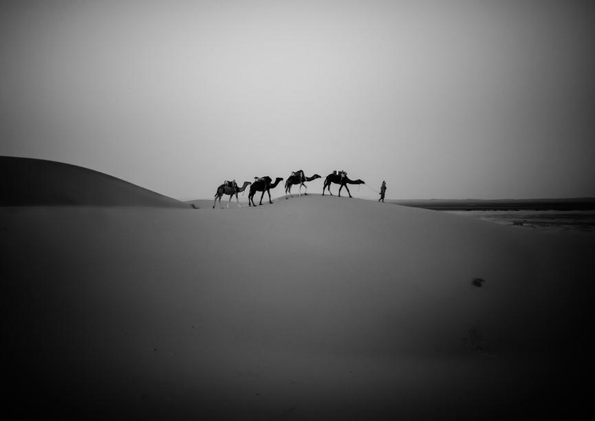 1170_Sahara Desert 4-camels_COL_22 x 17-