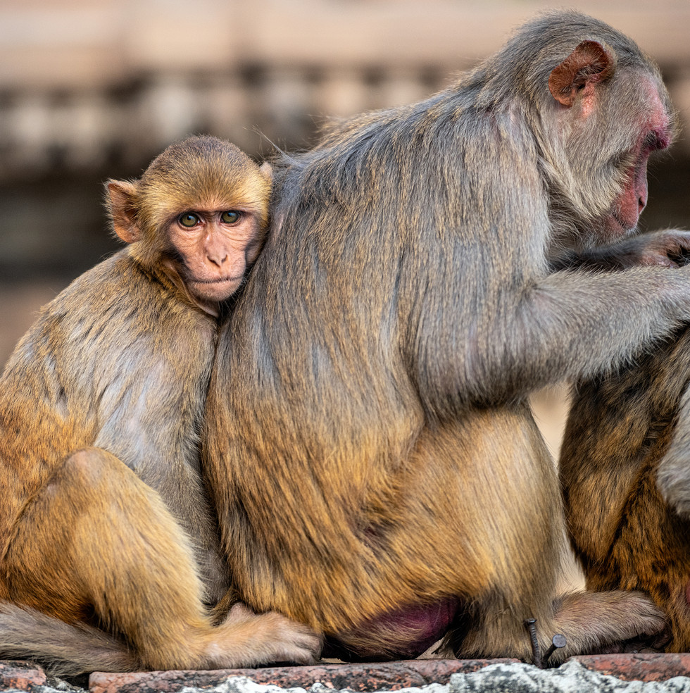 1669_Varanasi-baby-monkey_22-x-17.jpg