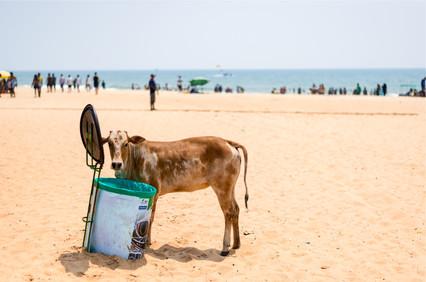 5065_Goa-Cow-Beach_RTP_22-x-17.jpg