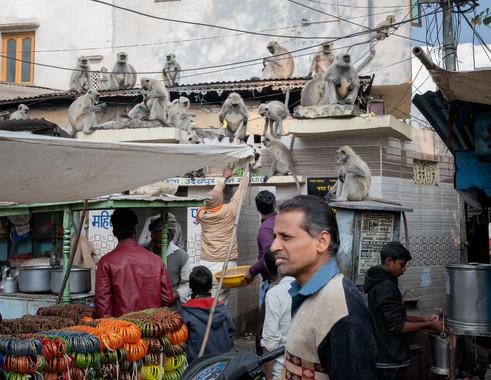 2920_Udaipur-market-monkeys_COL_22-x-17.