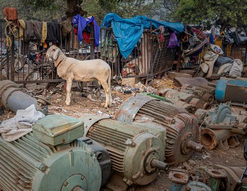 0624_Delhi Old City Goat_COL_22 x 17.jpg