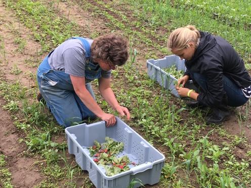 Lydia and Marcia harvesting radish.jpg