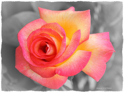 Fleur Rose orange  60x80 signé