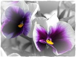 Fleur Pensée violette 60x80