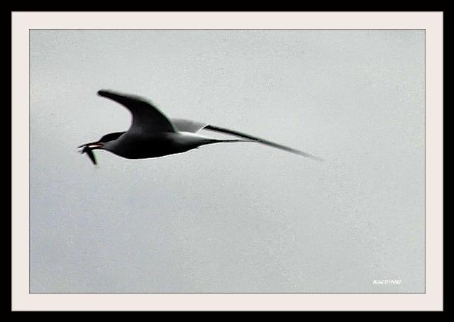 Oiseaux Stern_InPixio