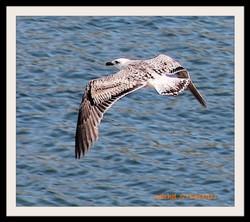Oiseau de Mer (3)