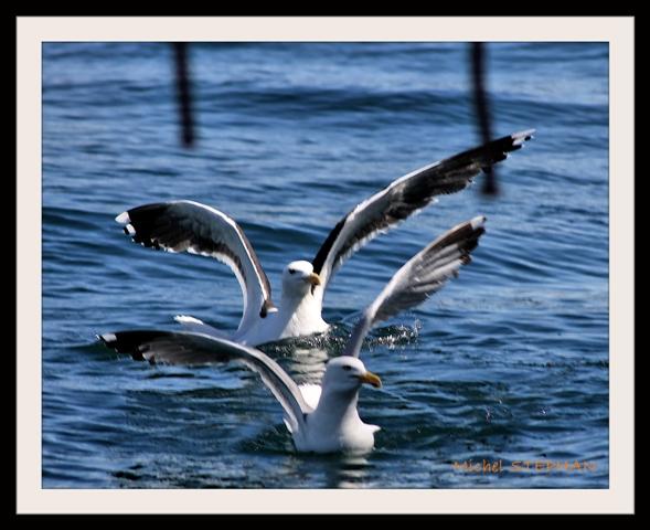 Oiseau de Mer (1)