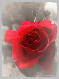 Rose rouge 80x60 deux tons