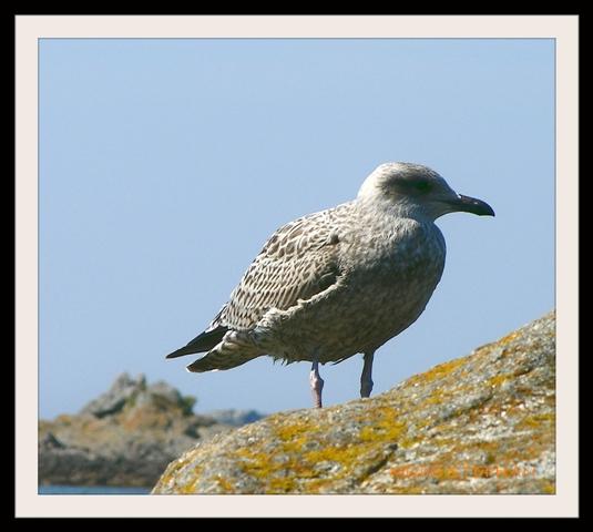 Oiseau de Mer (2)