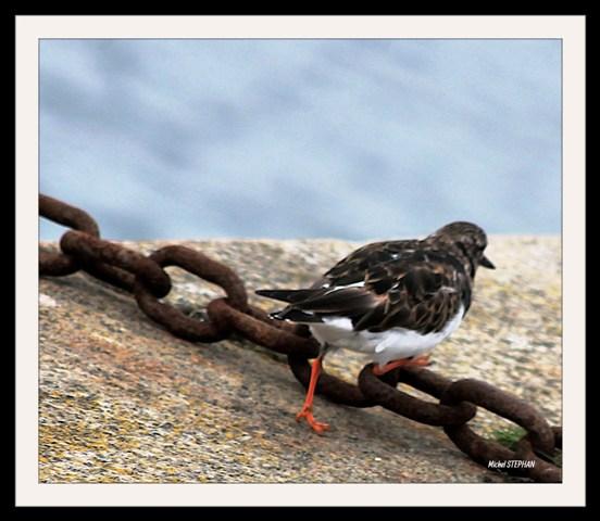 Oiseau Roscoff  (1)