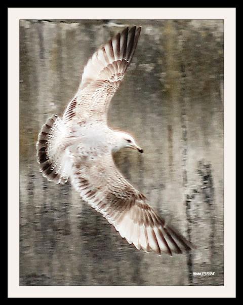 Oiseau Roscoff  (4)