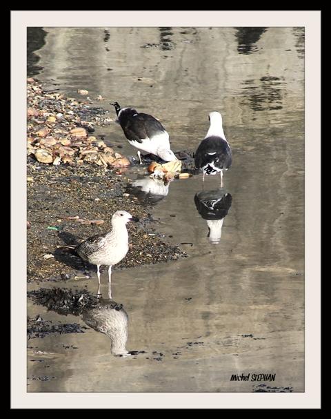 Oiseaux Roscoff (2)_InPixio