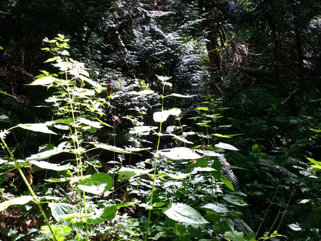 June Tea Blend - Cold Brewed Nettle