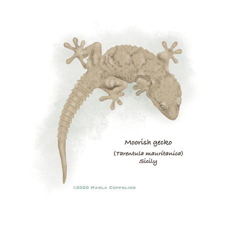 Moorish gecko from Sicily