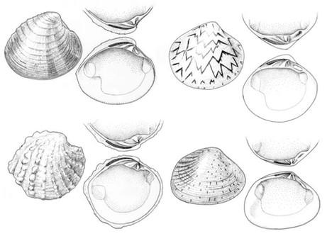 Bivalve (Veneroidea) shells