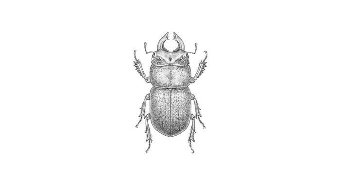 Lissotes beetle, male