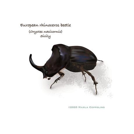 European rhinoceros beetle from Sicily