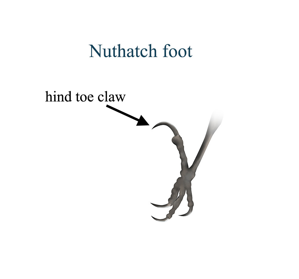 Nuthatch foot