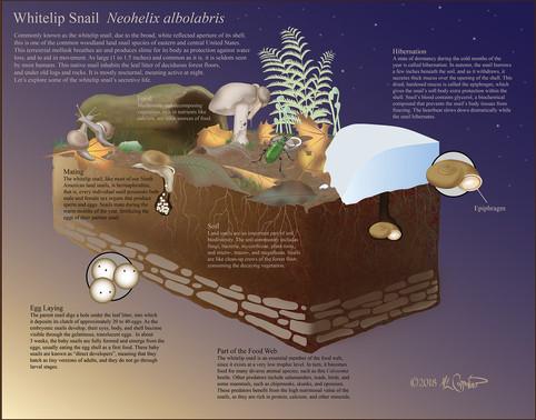 Whitelip snail infographic