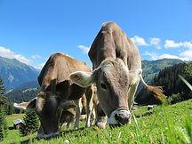 cows-203460_640.jpg