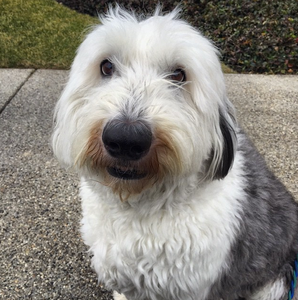 SPOTLIGHT: OLD ENGLISH SHEEPDOG | Professional Pet Sitters, Inc. | Chicago