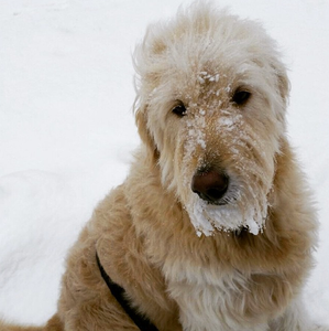 COLD WEATHER TIPS FOR DOGS | Professional Pet Sitters, Inc. | Chicago