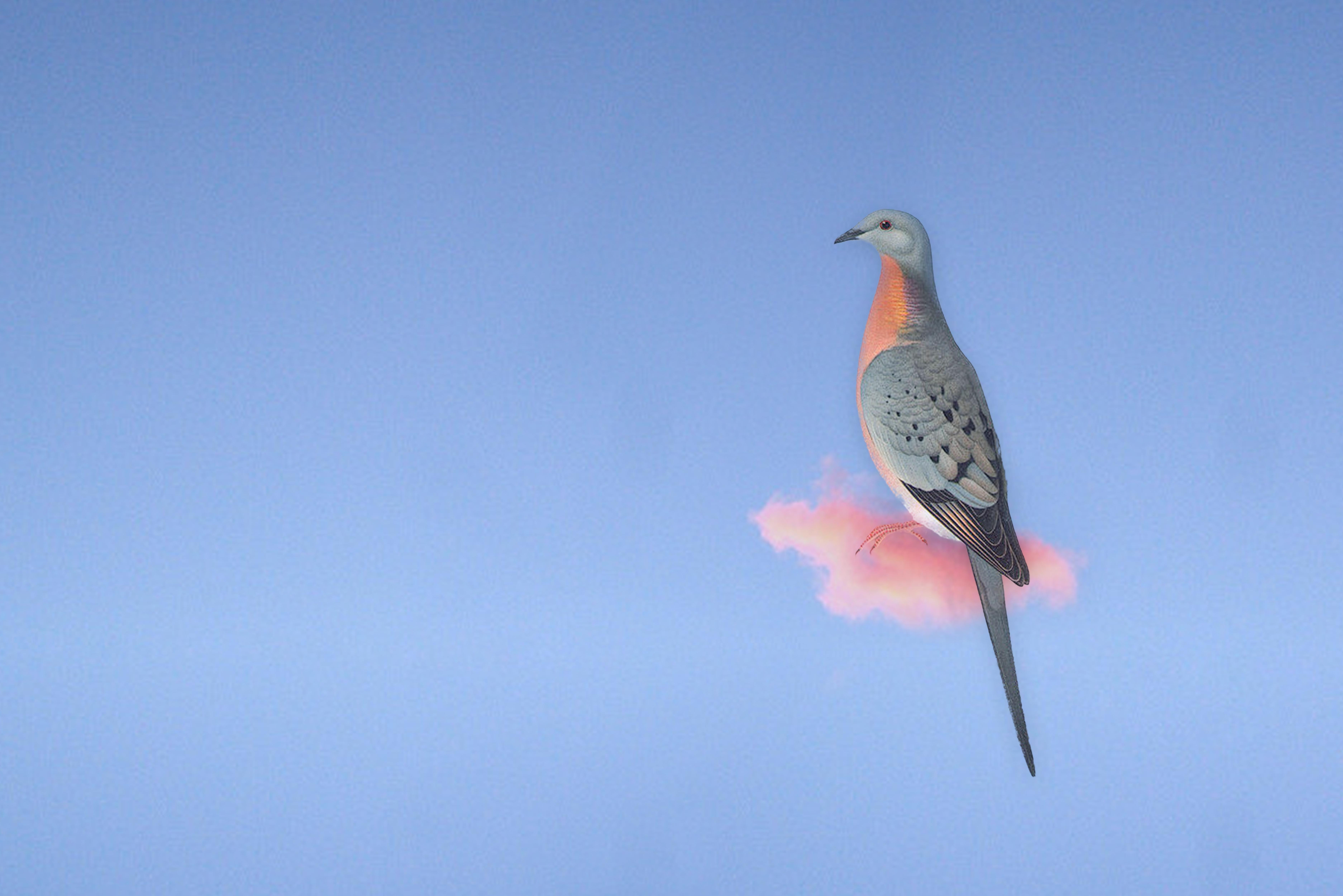CENERINI Cessation (Passenger Pigeon) 20