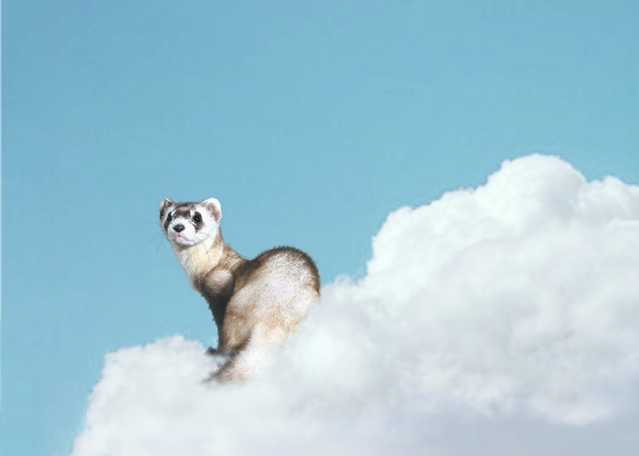 CENERINI Cessation (Black-Footed Ferret)