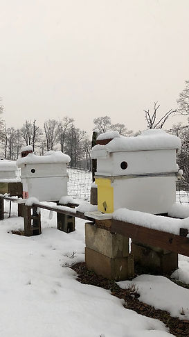 Over wintered NUCs for sale