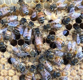 North Georgia Bee Farm Queen