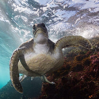 Sea Turtle encounters at Julian Rocks ha