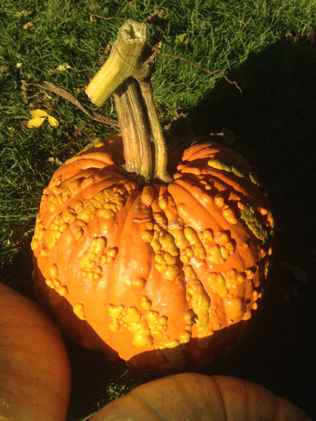 Warty Goblin Pumpkin