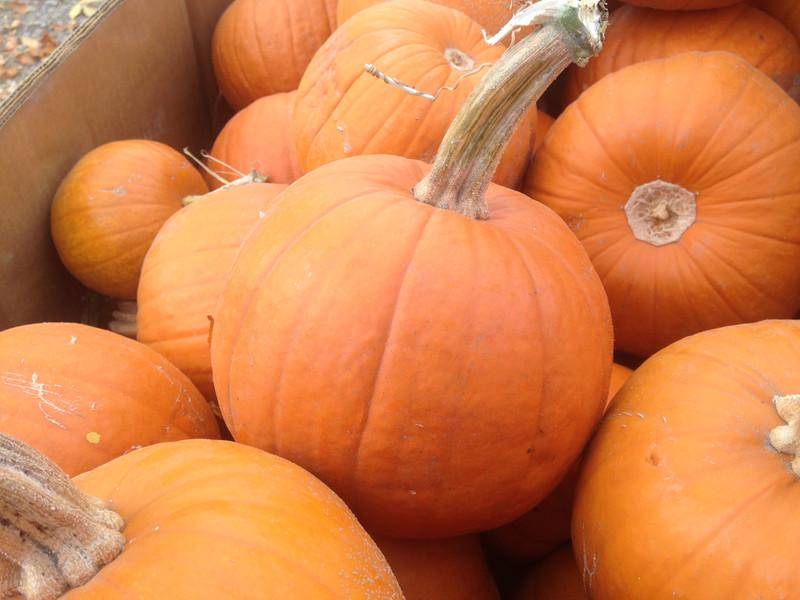 Small Sugar Pie Pumpkins