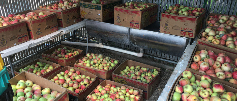 Apples Picked and Washed