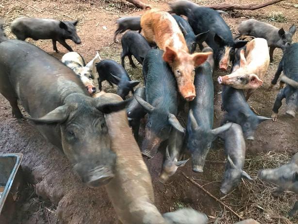 La gran familia porcina
