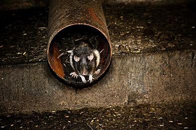 rat in a pipe.jpg