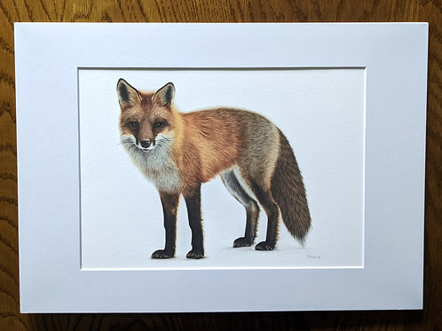 Mr Fox A4+ Giclée Print