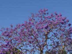 南カリフオルニアを代表する5月の花