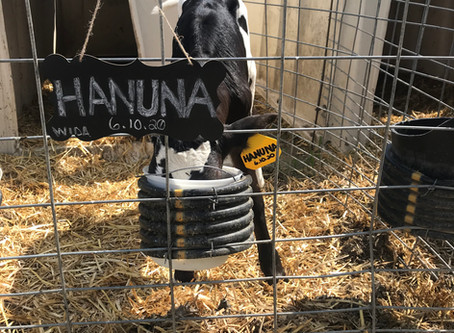 Copy of What to Expect…Calves in the First Year Part 1