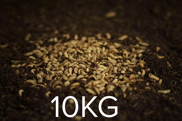 10kg Live Larvae (Feedstock)