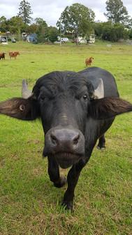 Boof the Buffalo